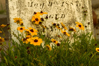 Galveston Cemetery wildflowers 2012